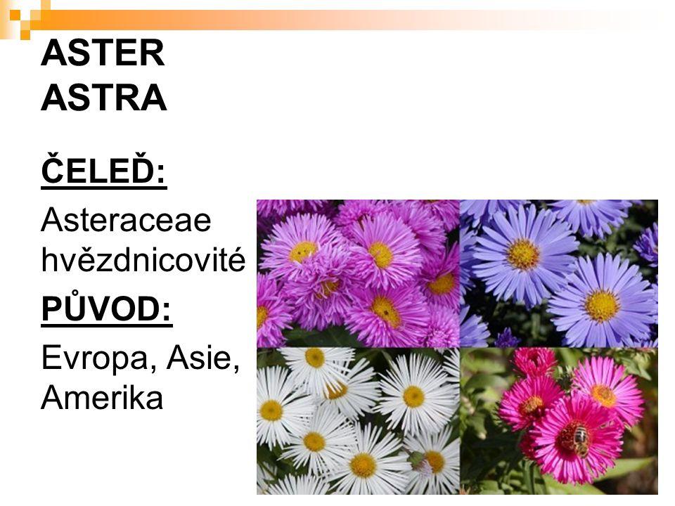 ASTER ASTRA ČELEĎ: Asteraceae hvězdnicovité PŮVOD: Evropa, Asie, Amerika