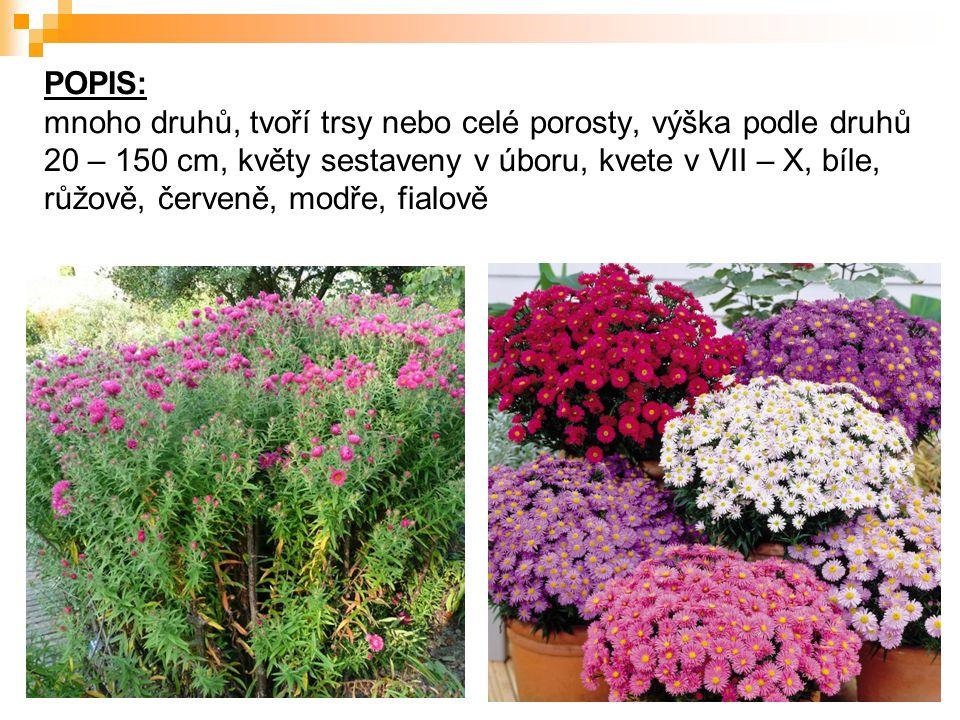 POPIS: mnoho druhů, tvoří trsy nebo celé porosty, výška podle druhů 20 – 150 cm, květy sestaveny v úboru, kvete v VII – X, bíle, růžově, červeně, modře, fialově