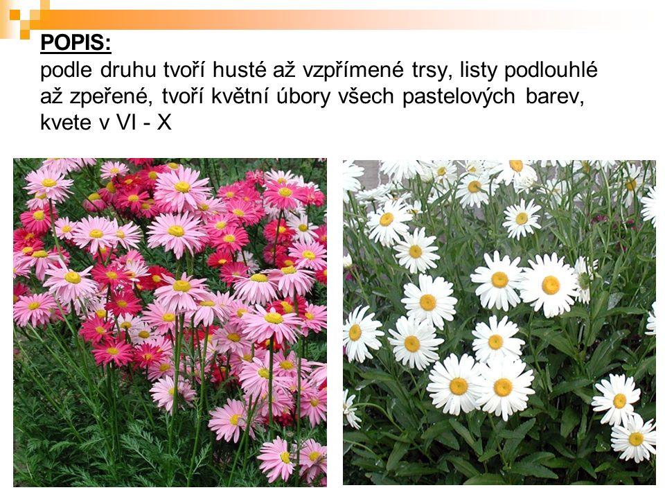 POPIS: podle druhu tvoří husté až vzpřímené trsy, listy podlouhlé až zpeřené, tvoří květní úbory všech pastelových barev, kvete v VI - X