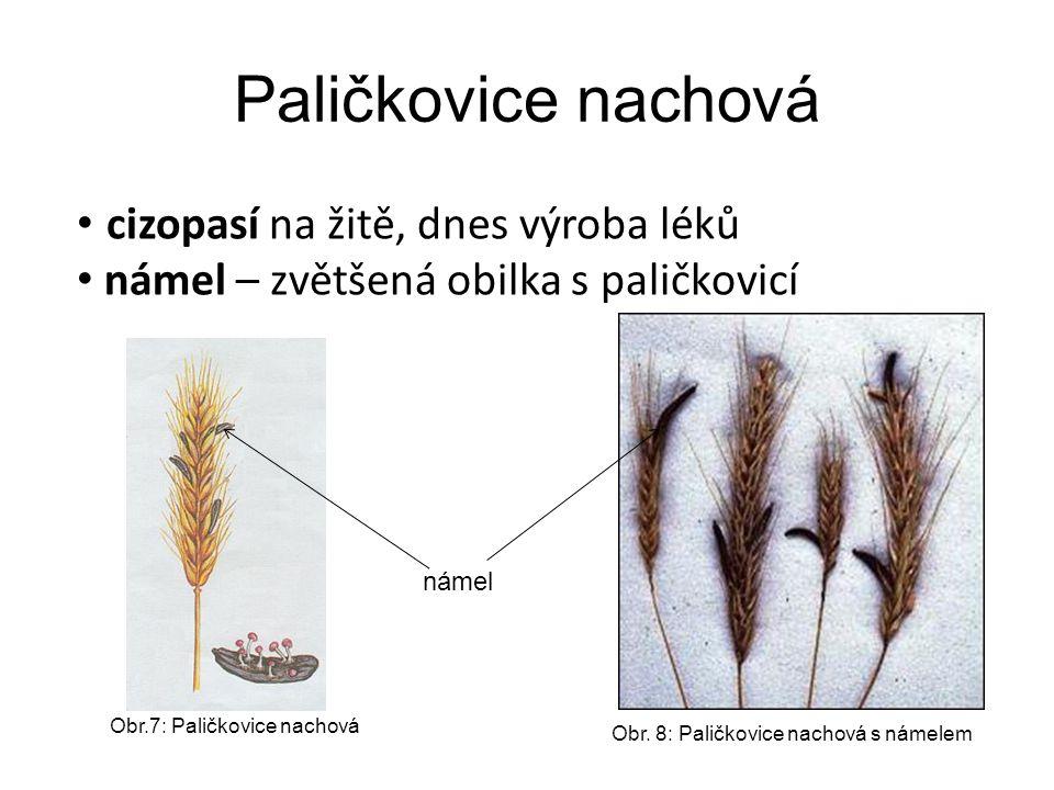 Paličkovice nachová námel Obr.7: Paličkovice nachová Obr. 8: Paličkovice nachová s námelem cizopasí na žitě, dnes výroba léků námel – zvětšená obilka