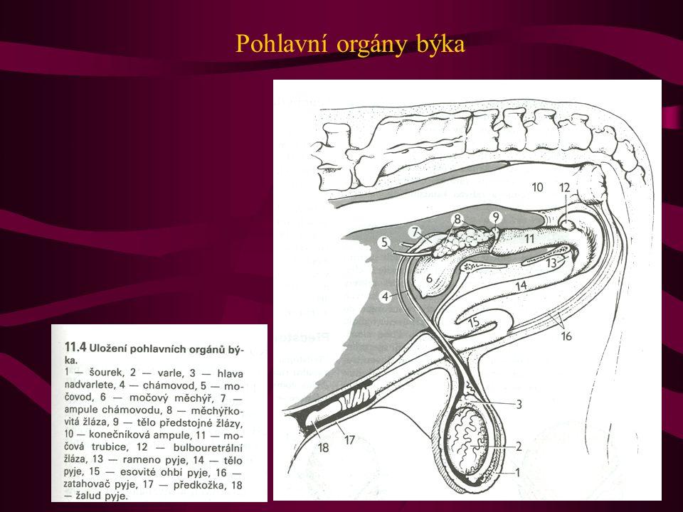 Pohlavní orgány býka