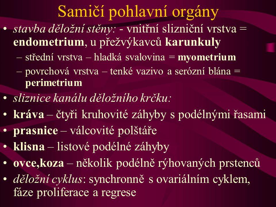 Samičí pohlavní orgány stavba děložní stěny: - vnitřní slizniční vrstva = endometrium, u přežvýkavců karunkuly –střední vrstva – hladká svalovina = my