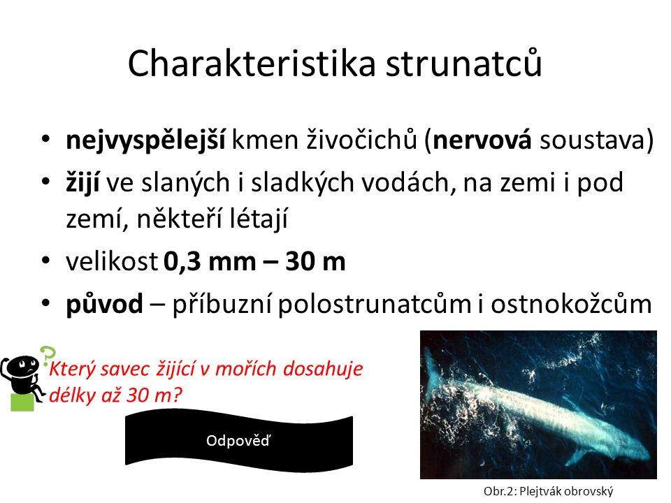 Charakteristika strunatců nejvyspělejší kmen živočichů (nervová soustava) žijí ve slaných i sladkých vodách, na zemi i pod zemí, někteří létají velikost 0,3 mm – 30 m původ – příbuzní polostrunatcům i ostnokožcům Obr.2: Plejtvák obrovský Který savec žijící v mořích dosahuje délky až 30 m.