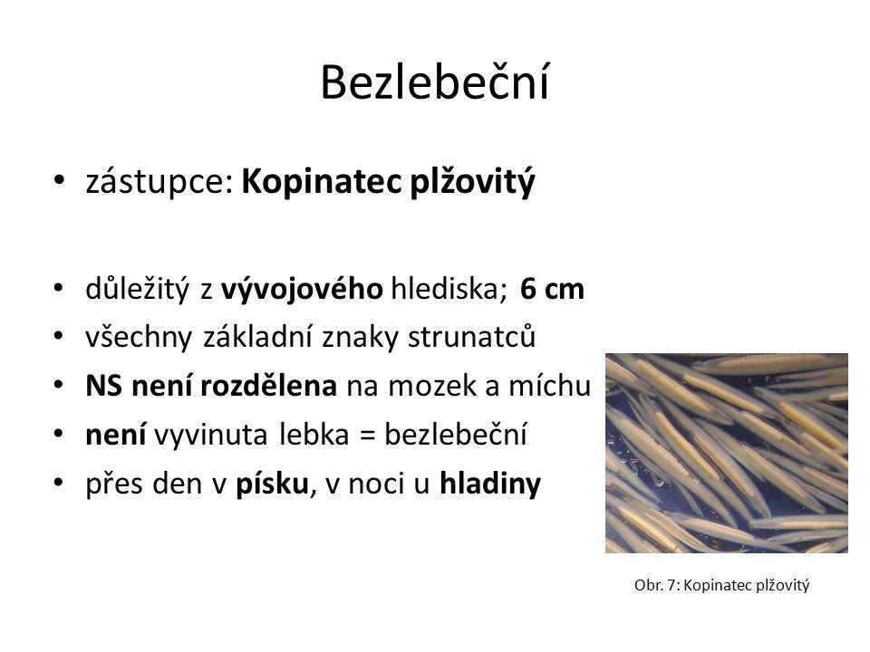 Bezlebeční zástupce: Kopinatec plžovitý důležitý z vývojového hlediska; 6 cm všechny základní znaky strunatců NS není rozdělena na mozek a míchu není vyvinuta lebka = bezlebeční přes den v písku, v noci u hladiny Obr.