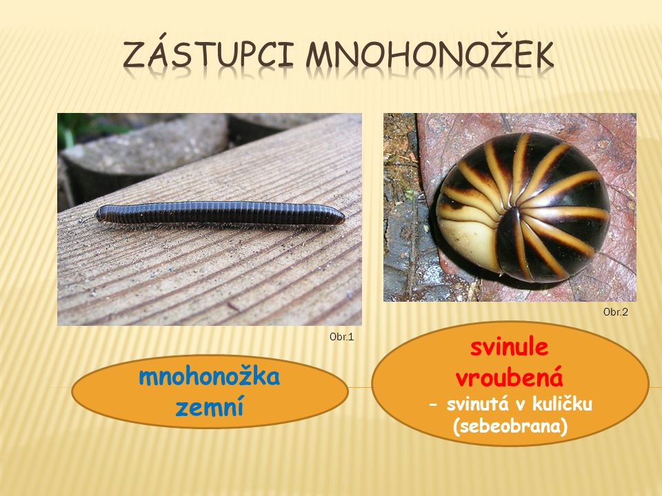 mnohonožka zemní svinule vroubená - svinutá v kuličku (sebeobrana) Obr.2 Obr.1