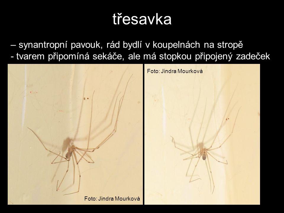 třesavka – synantropní pavouk, rád bydlí v koupelnách na stropě - tvarem připomíná sekáče, ale má stopkou připojený zadeček Foto: Jindra Mourková