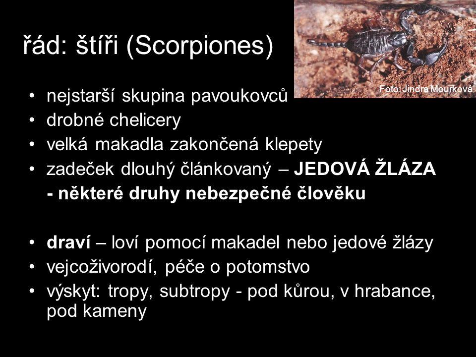 řád: štíři (Scorpiones) nejstarší skupina pavoukovců drobné chelicery velká makadla zakončená klepety zadeček dlouhý článkovaný – JEDOVÁ ŽLÁZA - některé druhy nebezpečné člověku draví – loví pomocí makadel nebo jedové žlázy vejcoživorodí, péče o potomstvo výskyt: tropy, subtropy - pod kůrou, v hrabance, pod kameny Foto: Jindra Mourková