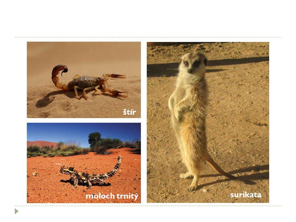 štír moloch trnitý surikata