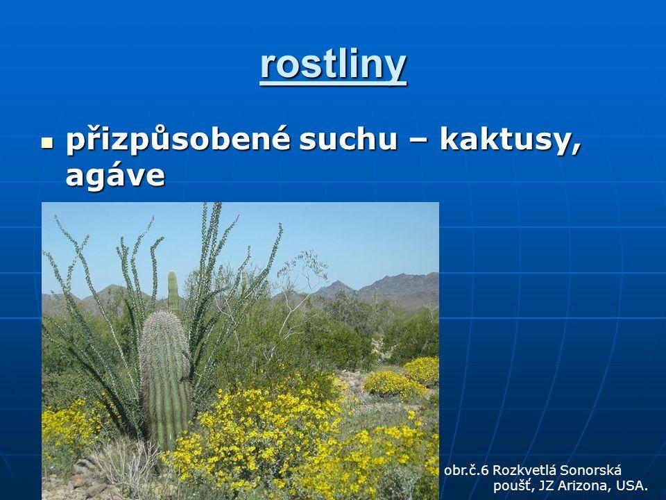 rostliny přizpůsobené suchu – kaktusy, agáve přizpůsobené suchu – kaktusy, agáve obr.č.6 Rozkvetlá Sonorská poušť, JZ Arizona, USA.
