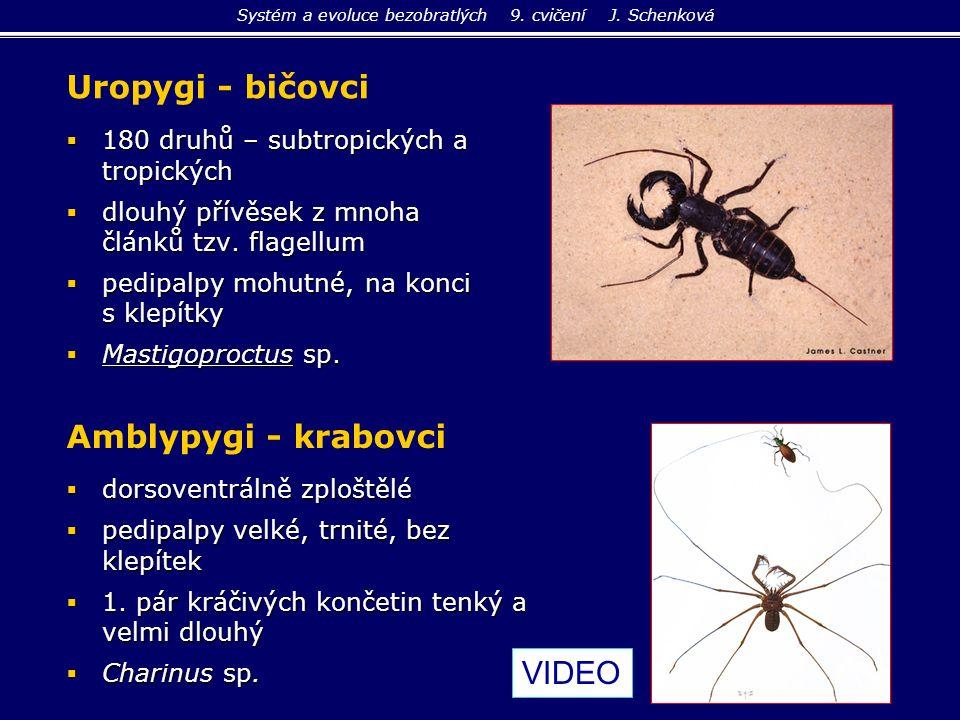 Uropygi - bičovci  180 druhů – subtropických a tropických  dlouhý přívěsek z mnoha článků tzv. flagellum  pedipalpy mohutné, na konci s klepítky 