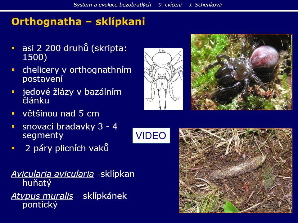 Orthognatha – sklípkani   asi 2 200 druhů (skripta: 1500)   chelicery v orthognathním postavení   jedové žlázy v bazálním článku   většinou na