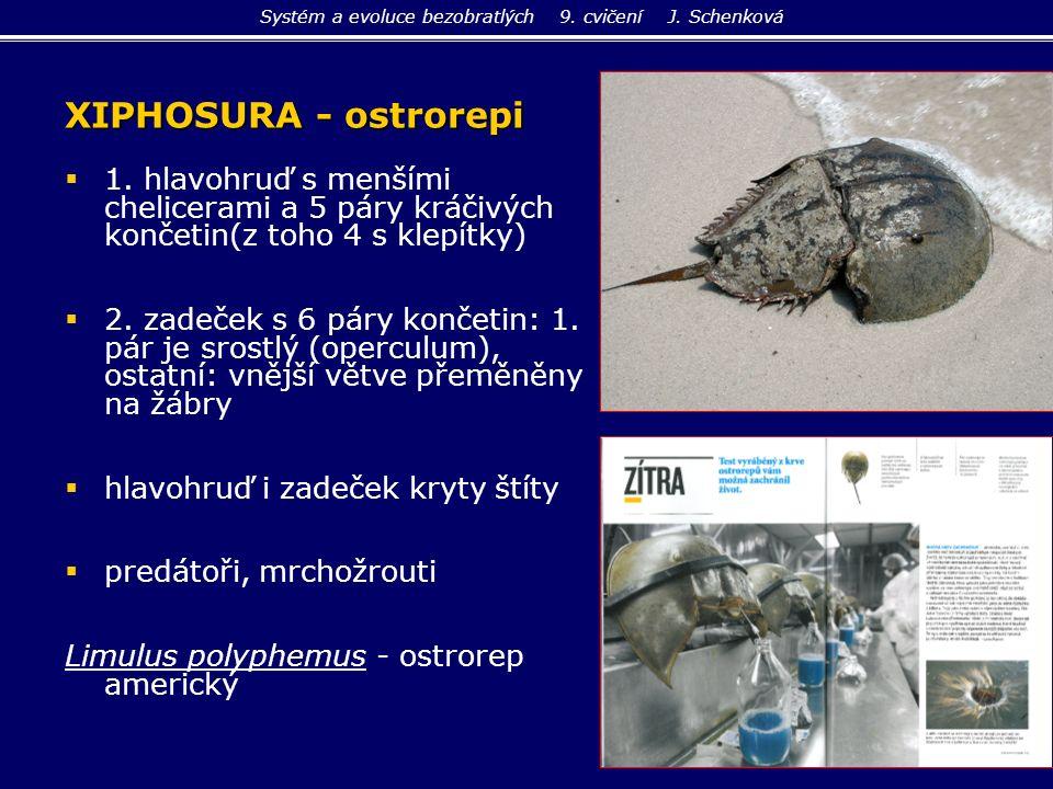 XIPHOSURA - ostrorepi   1. hlavohruď s menšími chelicerami a 5 páry kráčivých končetin(z toho 4 s klepítky)   2. zadeček s 6 páry končetin: 1. pár