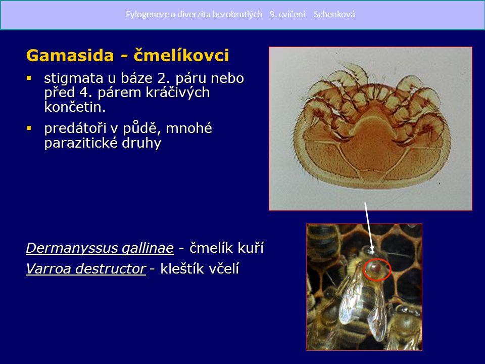Gamasida - čmelíkovci  stigmata u báze 2. páru nebo před 4.