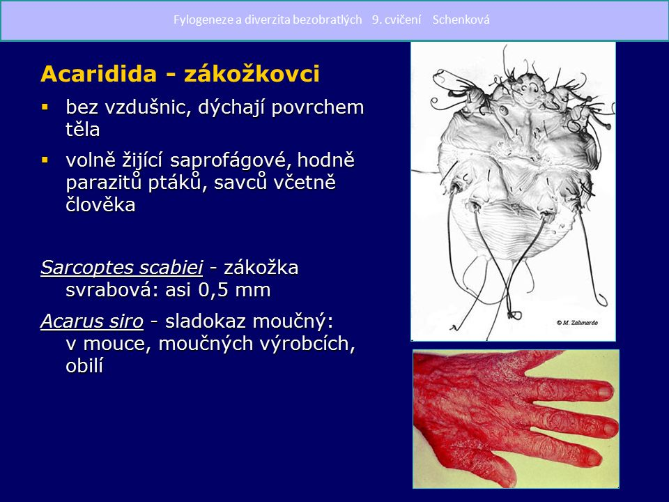 Acaridida - zákožkovci  bez vzdušnic, dýchají povrchem těla  volně žijící saprofágové, hodně parazitů ptáků, savců včetně člověka Sarcoptes scabiei - zákožka svrabová: asi 0,5 mm Acarus siro - sladokaz moučný: v mouce, moučných výrobcích, obilí Fylogeneze a diverzita bezobratlých 9.