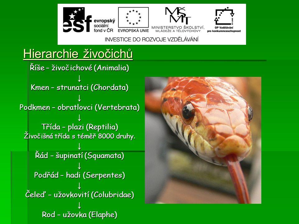 Hierarchie živočichů Říše – živočichové (Animalia) ↓ Kmen – strunatci (Chordata) ↓ Podkmen – obratlovci (Vertebrata) ↓ Třída – plazi (Reptilia) Živočišná třída s téměř 8000 druhy.