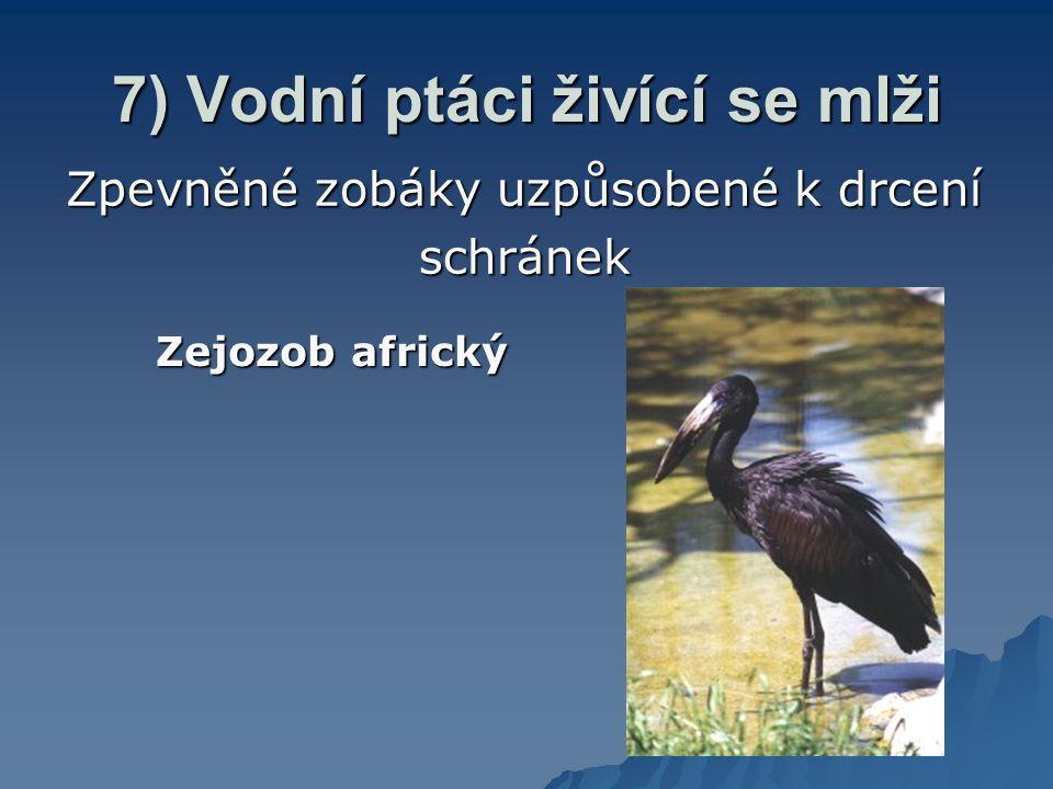 7) Vodní ptáci živící se mlži Zpevněné zobáky uzpůsobené k drcení schránek Zejozob africký