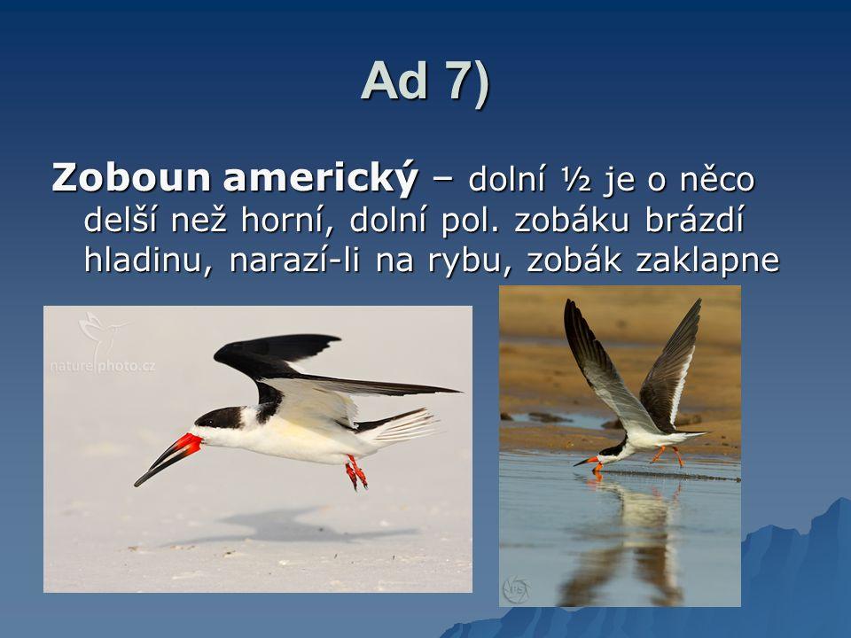 Ad 7) Zoboun americký – dolní ½ je o něco delší než horní, dolní pol. zobáku brázdí hladinu, narazí-li na rybu, zobák zaklapne