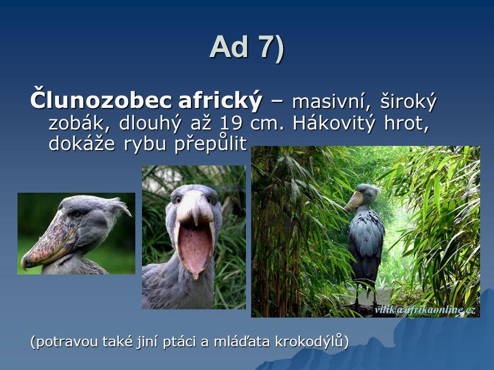 Ad 7) Člunozobec africký – masivní, široký zobák, dlouhý až 19 cm. Hákovitý hrot, dokáže rybu přepůlit (potravou také jiní ptáci a mláďata krokodýlů)