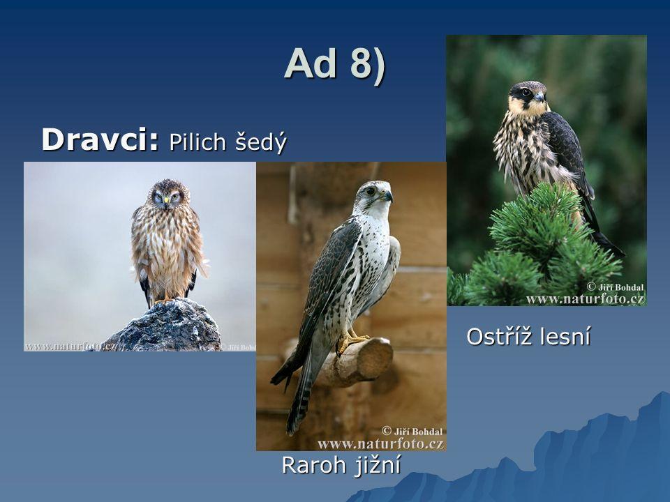 Ad 8) Dravci: Pilich šedý Ostříž lesní Ostříž lesní Raroh jižní Raroh jižní