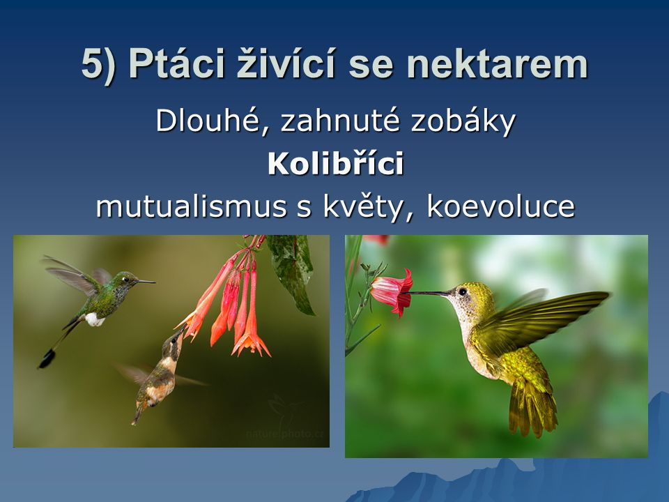 Pozn. Kolibřík rodu Anadron – specializace na lov hmyzu - okraj zobáku vroubkovaný fce: uchopení