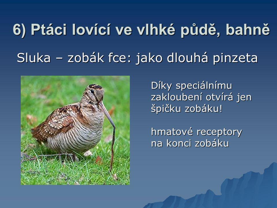 6) Ptáci lovící ve vlhké půdě, bahně Sluka – zobák fce: jako dlouhá pinzeta Díky speciálnímu zakloubení otvírá jen špičku zobáku.