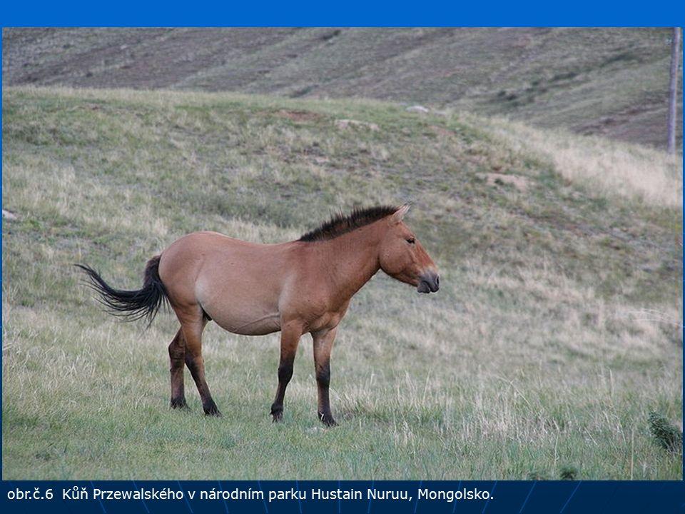 obr.č.6 Kůň Przewalského v národním parku Hustain Nuruu, Mongolsko.