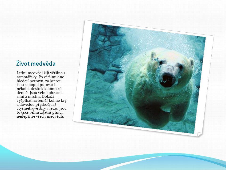 Život medvěda Lední medvědi žijí většinou samotářsky.