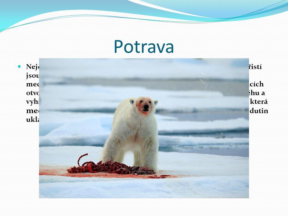 Potrava Nejčastějším způsobem obživy ledních medvědů je lov a hlavní kořistí jsou tuleni.