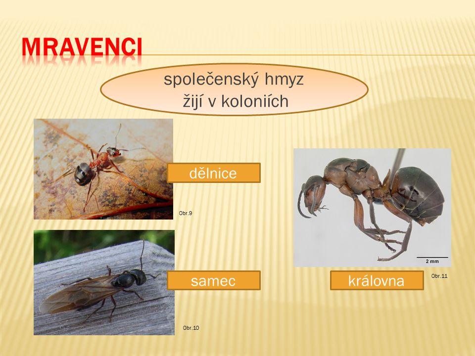 dělnice sameckrálovna společenský hmyz žijí v koloniích Obr.11 Obr.10 Obr.9