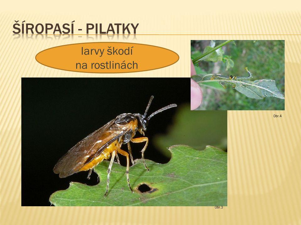 Obr.5 larvy se živí dřevem