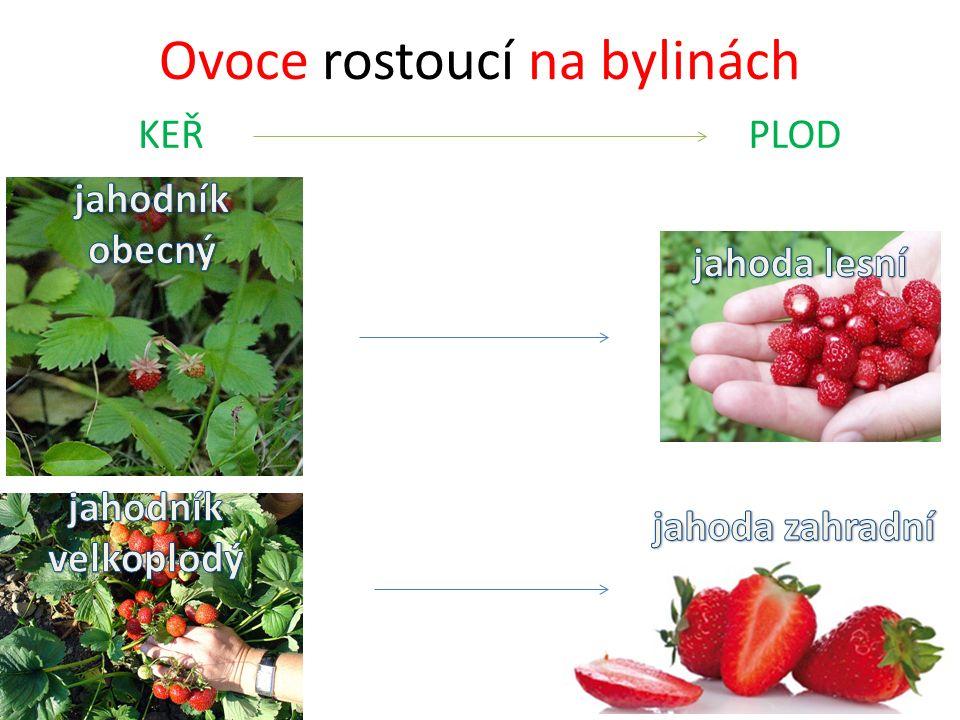 Ovoce rostoucí na bylinách KEŘPLOD