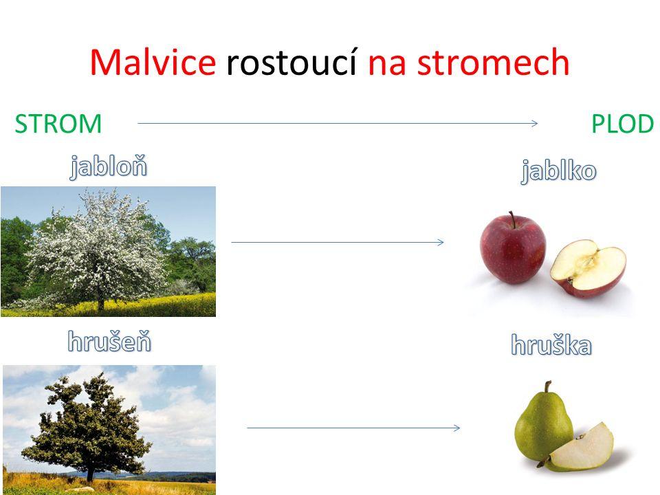 Peckovice rostoucí na stromech STROM PLOD meruňka broskvoň broskev slivoň švestka švestka třešeň