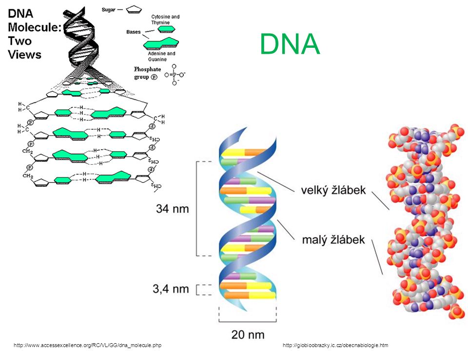 DNA http://giobioobrazky.ic.cz/obecnabiologie.htmhttp://www.accessexcellence.org/RC/VL/GG/dna_molecule.php