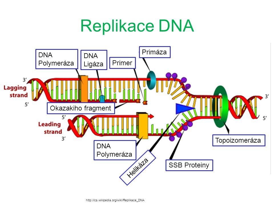 Replikace DNA Primáza Primer DNA Ligáza DNA Polymeráza Okazakiho fragment Topoizomeráza DNA Polymeráza Helikáza SSB Proteiny http://cs.wikipedia.org/wiki/Replikace_DNA