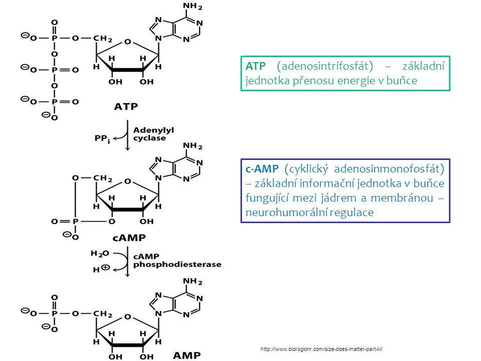ATP (adenosintrifosfát) – základní jednotka přenosu energie v buňce c-AMP (cyklický adenosinmonofosfát) – základní informační jednotka v buňce fungující mezi jádrem a membránou – neurohumorální regulace http://www.biologicnr.com/size-does-matter-part-iii/