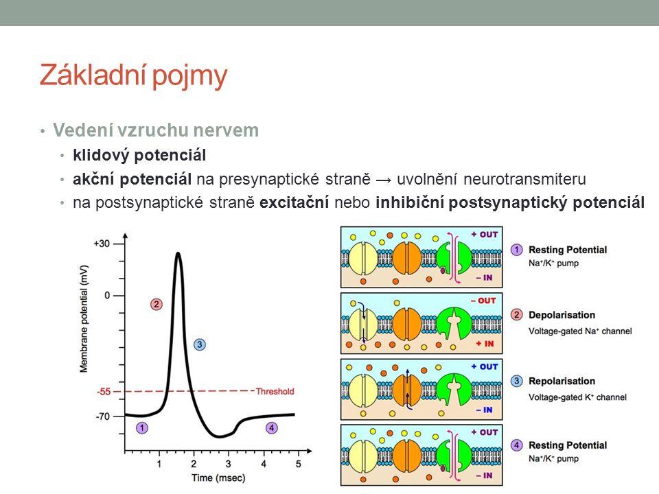 Základní pojmy Vedení vzruchu nervem klidový potenciál akční potenciál na presynaptické straně → uvolnění neurotransmiteru na postsynaptické straně excitační nebo inhibiční postsynaptický potenciál