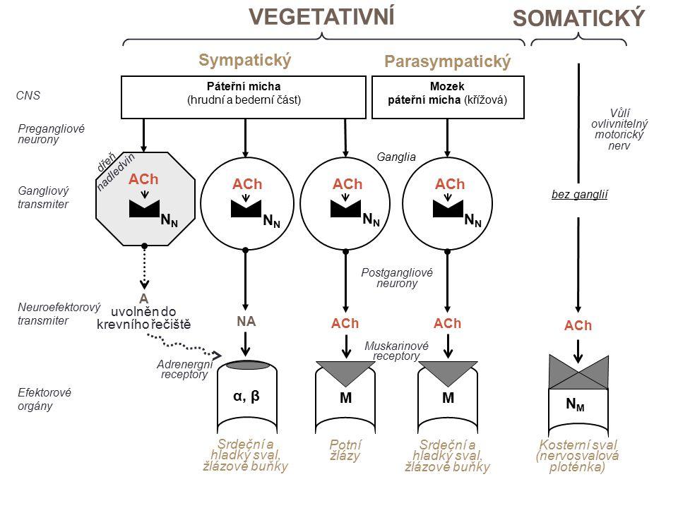 ACh N N N N dřeň nadledvin Ganglia bez ganglií Páteřní mícha (hrudní a bederní část) Mozek páteřní mícha (křížová) Postgangliové neurony Efektorové orgány CNS A uvolněn do krevního řečiště NA Muskarinové receptory α, β M NMNM ACh Neuroefektorový transmiter Pregangliové neurony Gangliový transmiter VEGETATIVNÍ Sympatický Parasympatický SOMATICKÝ Vůlí ovlivnitelný motorický nerv Kosterní sval (nervosvalová ploténka) ACh N M Adrenergní receptory Potní žlázy Srdeční a hladký sval, žlázové buňky Srdeční a hladký sval, žlázové buňky