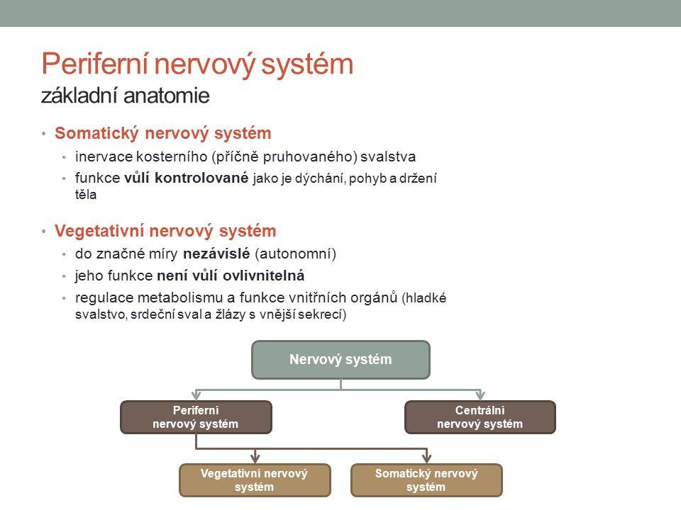 Somatický nervový systém inervace kosterního (příčně pruhovaného) svalstva funkce vůlí kontrolované jako je dýchání, pohyb a držení těla Vegetativní nervový systém do značné míry nezávislé (autonomní) jeho funkce není vůlí ovlivnitelná regulace metabolismu a funkce vnitřních orgánů (hladké svalstvo, srdeční sval a žlázy s vnější sekrecí) Periferní nervový systém základní anatomie Nervový systém Periferní nervový systém Centrální nervový systém Vegetativní nervový systém Somatický nervový systém