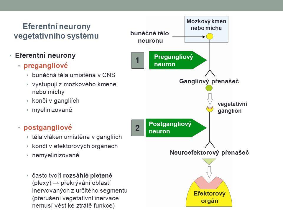 Eferentní neurony vegetativního systému Mozkový kmen nebo mícha buněčné tělo neuronu Gangliový přenašeč Neuroefektorový přenašeč Pregangliový neuron Postgangliový neuron 1 2 Efektorový orgán vegetativní ganglion Eferentní neurony pregangliové buněčná těla umístěna v CNS vystupují z mozkového kmene nebo míchy končí v gangliích myelinizované postgangliové těla vláken umístěna v gangliích končí v efektorových orgánech nemyelinizované často tvoří rozsáhlé pleteně (plexy) → překrývání oblastí inervovaných z určitého segmentu (přerušení vegetativní inervace nemusí vést ke ztrátě funkce)
