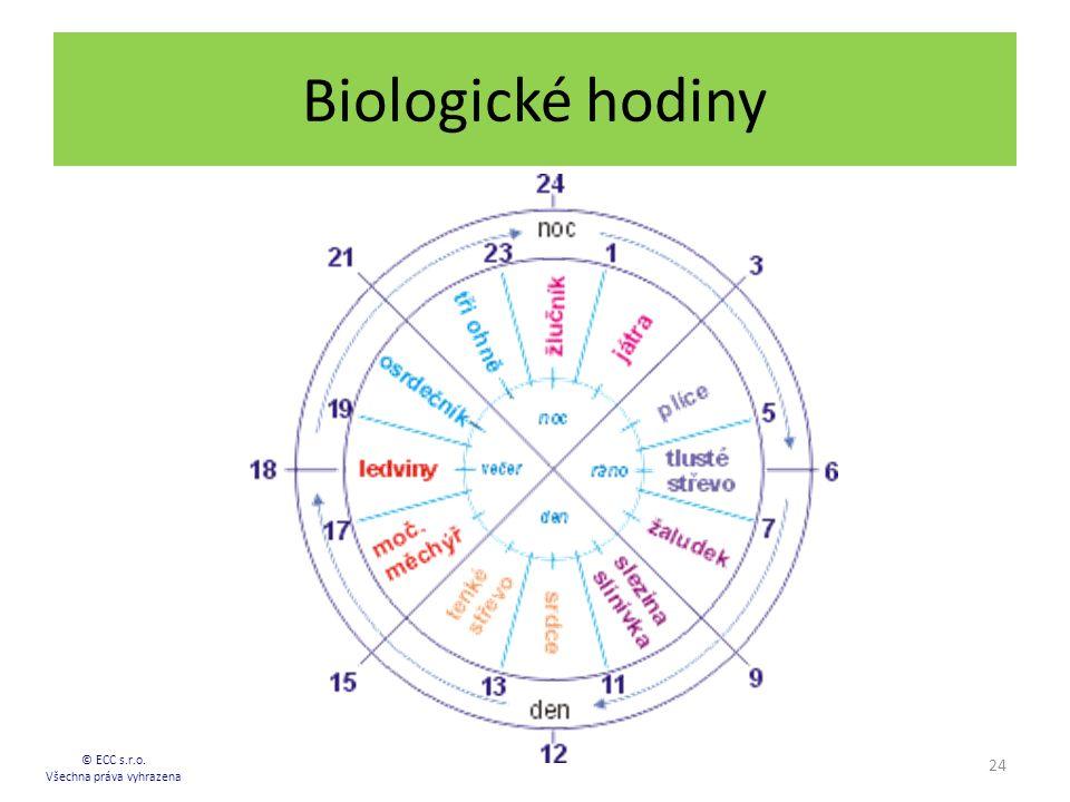 Biologické hodiny 24 © ECC s.r.o. Všechna práva vyhrazena