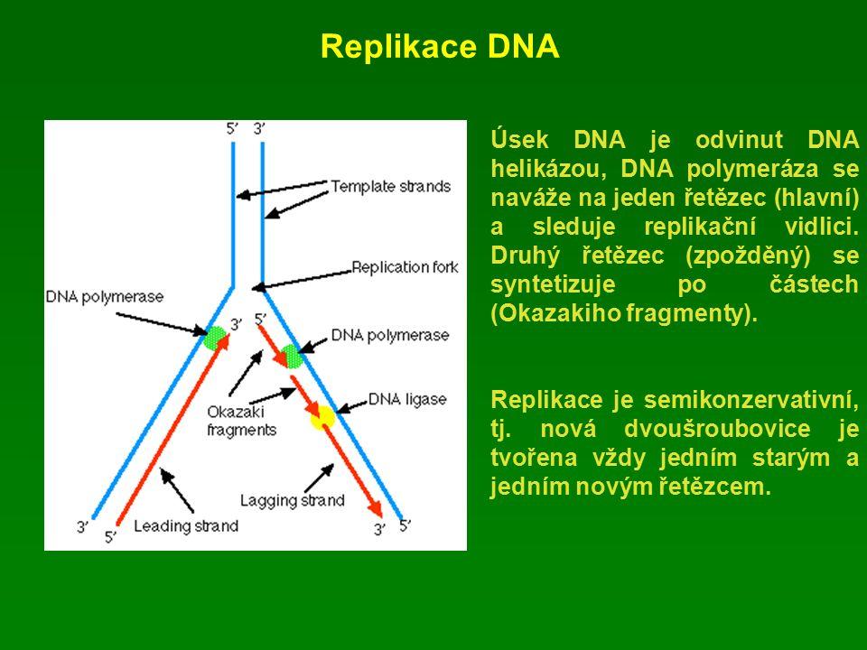 Replikace DNA Úsek DNA je odvinut DNA helikázou, DNA polymeráza se naváže na jeden řetězec (hlavní) a sleduje replikační vidlici.