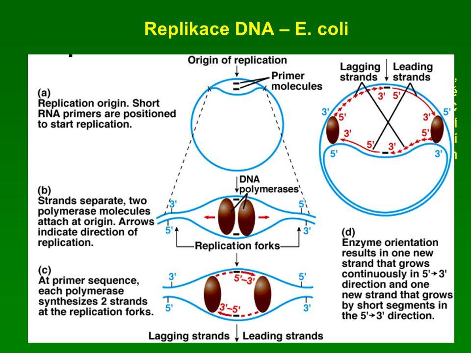 Replikace DNA – E. coli Kruhový chromosom, replikace začíná v přesně určeném místě – oriC (začátku replikace), interakcí s DnaA proteinem – další prot