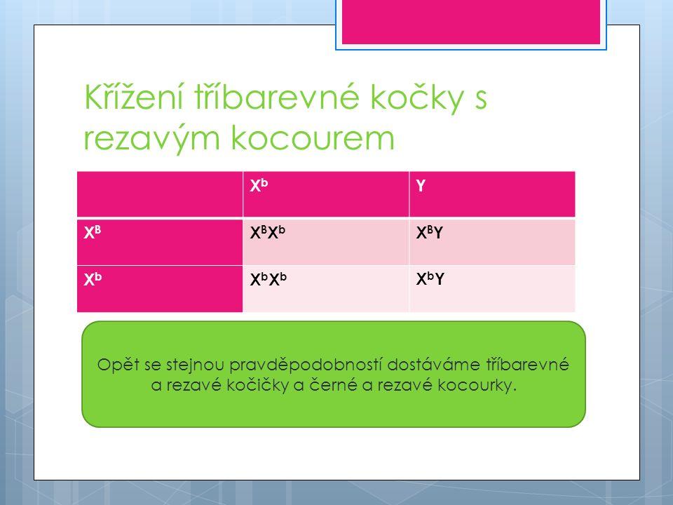 Křížení tříbarevné kočky s rezavým kocourem XbXb Y XBXB XBXbXBXb XBYXBY XbXb XbXbXbXb XbYXbY Opět se stejnou pravděpodobností dostáváme tříbarevné a rezavé kočičky a černé a rezavé kocourky.