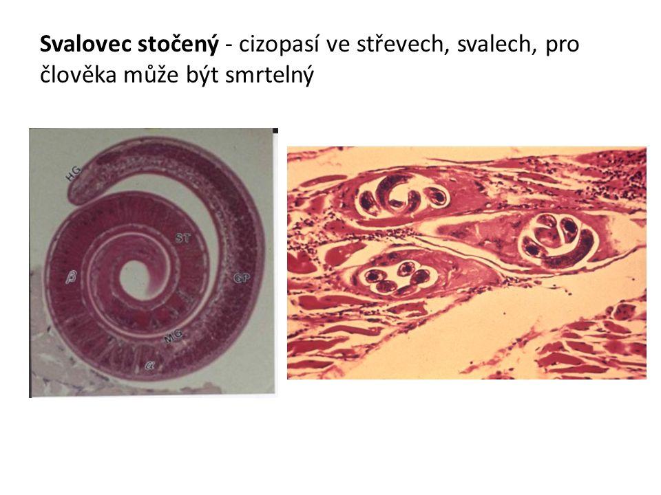 Svalovec stočený - cizopasí ve střevech, svalech, pro člověka může být smrtelný
