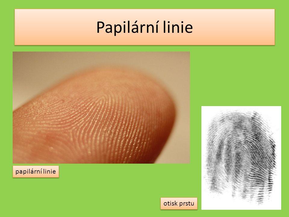 Papilární linie otisk prstu papilární linie