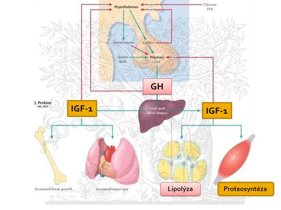 IGF-1 GH Lipolýza Proteosyntéza