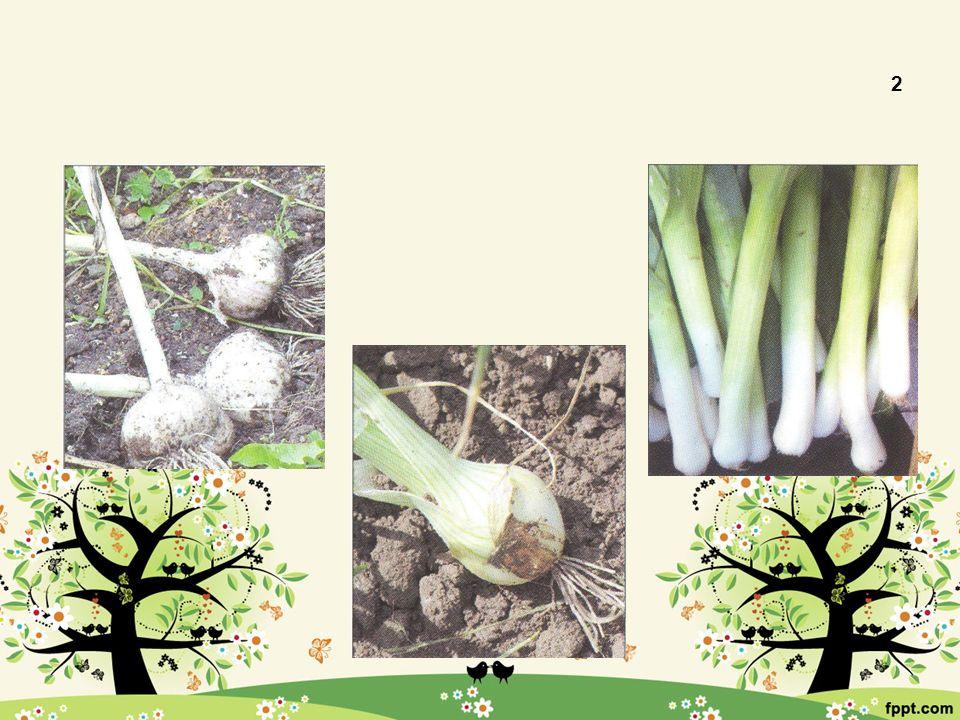 Cibulová 2 Česnek kuchyňský Cibule kuchyňská Pór zahradní