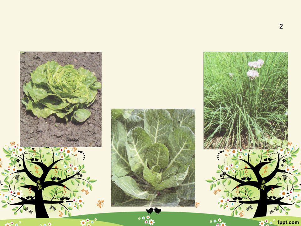 Listová 2 Locika setá (salát) Brukev zelná (kapusta) Pažitka pobřežní
