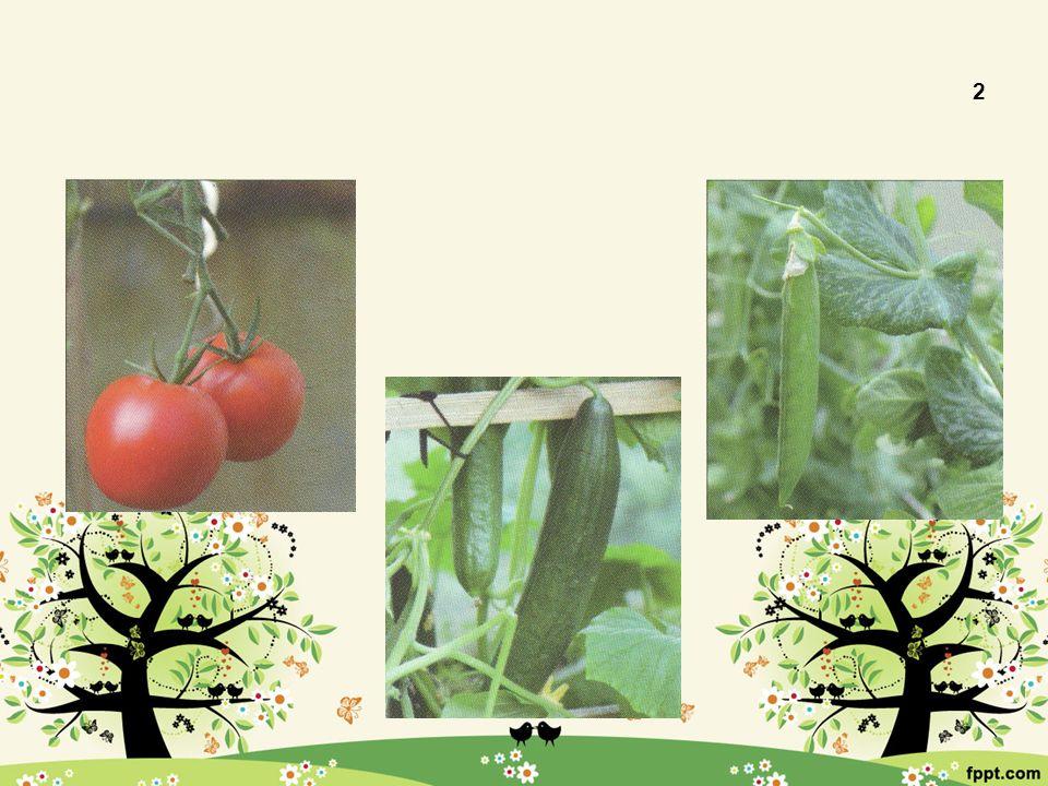 Plodová 2 Lilek rajče Okurka setá Hrách setý