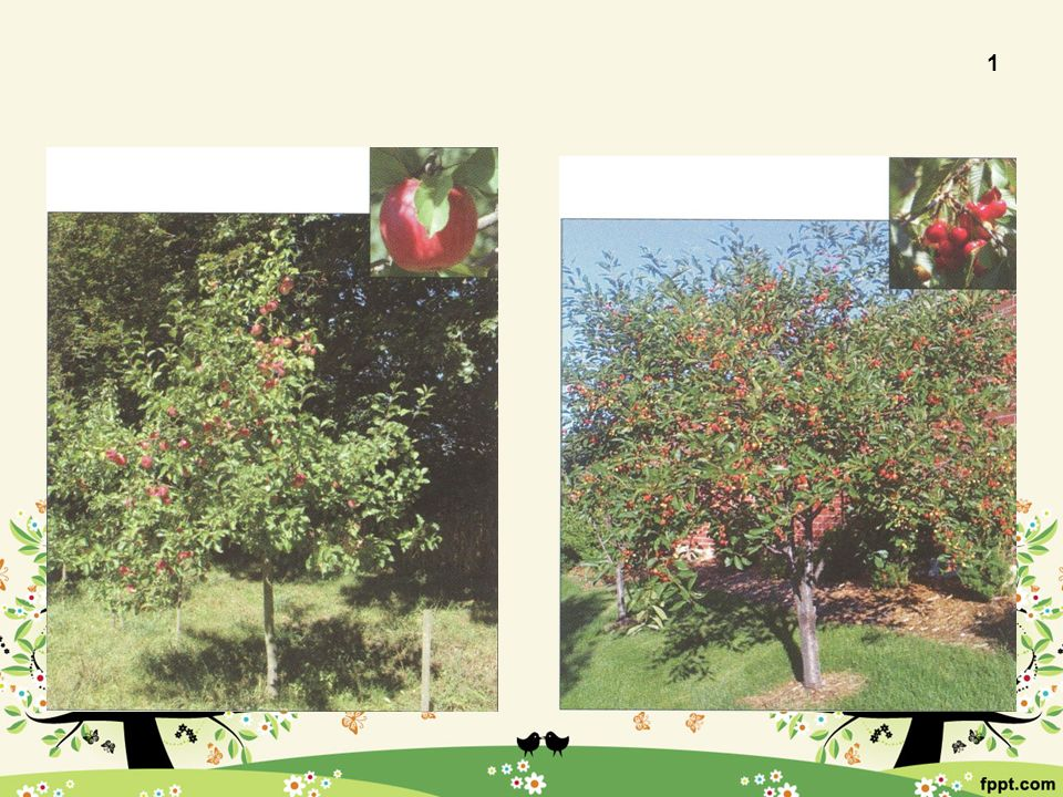 Jabloň domácí 1 Plodem je dužnatý plod Řadí se mezi malvice Vyšlechtěno mnoho druhů